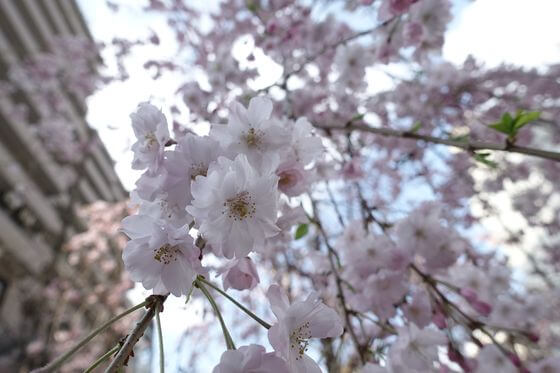 芳林公園 しだれ桜