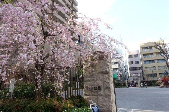 芳林公園 桜