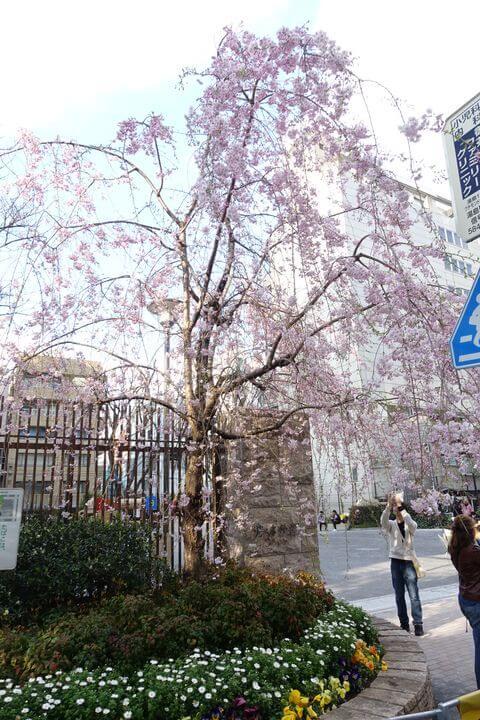 芳林公園 枝垂れ桜