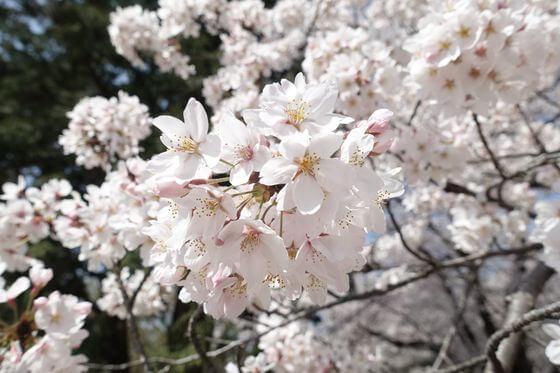 狭山稲荷山公園 桜 開花状況