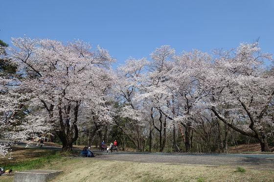 稲荷山公園 花見