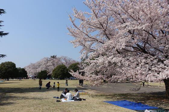 狭山稲荷山公園 桜 見頃