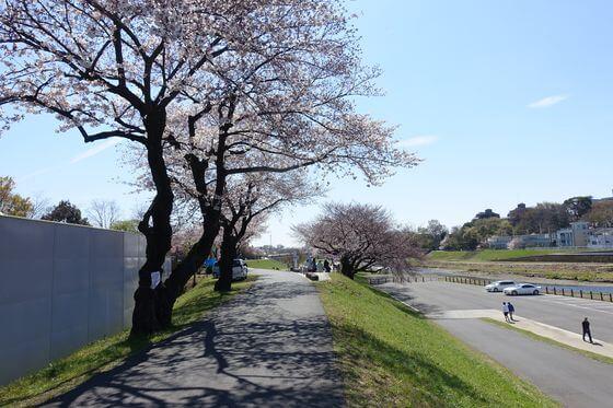 いろは親水公園 桜並木