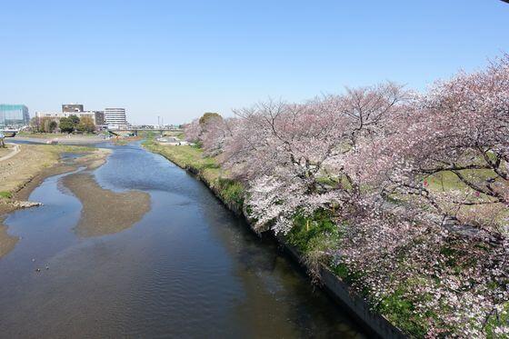 いろは親水公園 桜