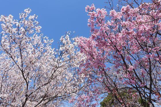 いろは親水公園 桜 見頃