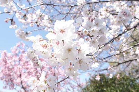 いろは親水公園 桜 開花状況