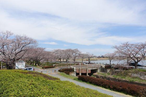 桜 伊佐沼公園