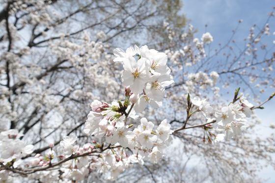 伊佐沼公園 桜 見頃