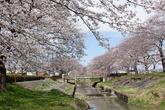 伊佐沼公園 桜