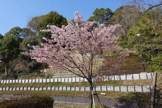 伊東公園 伊東小室桜