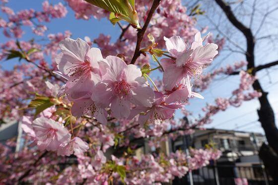 伊東 寒桜