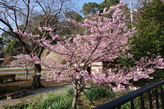 伊東公園 寒桜