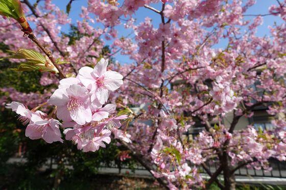 寒桜 伊東公園