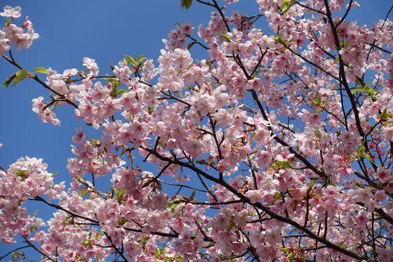 伊東公園 寒桜 見頃