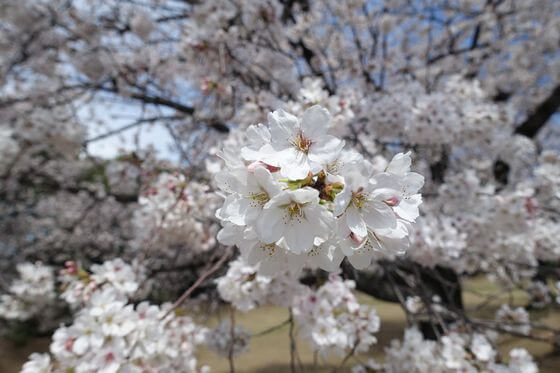 川越運動公園 桜 見頃