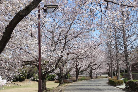 川越運動公園 桜