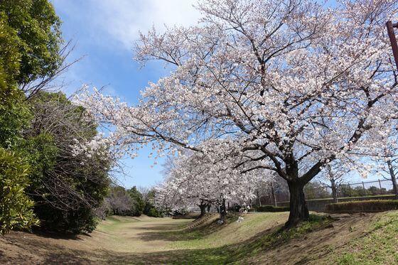 川越運動公園 桜並木