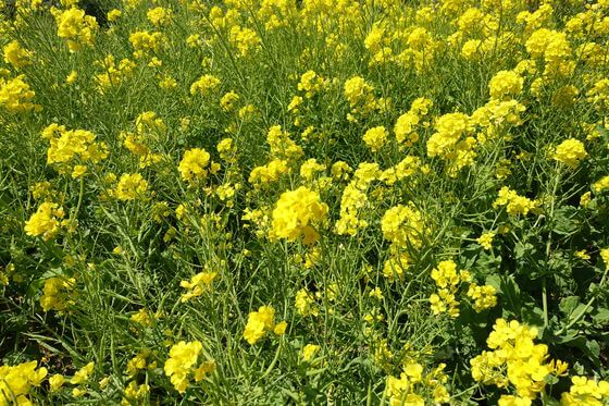 木場公園 菜の花
