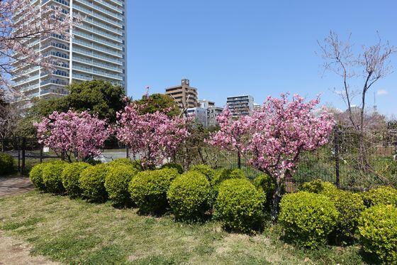 木場公園 都市緑化植物園 海棠