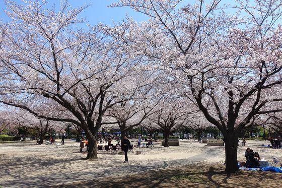 木場公園 桜 見頃