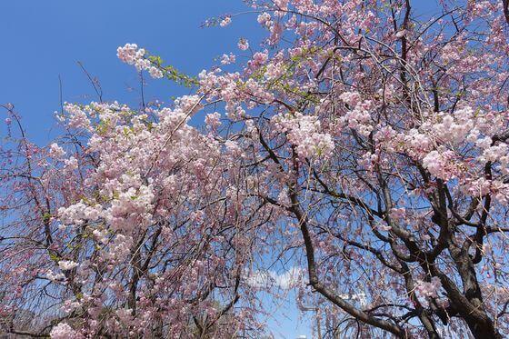 木場公園 桜 開花状況