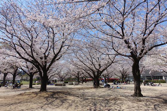 木場公園 お花見