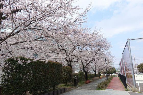 希望丘公園 桜並木