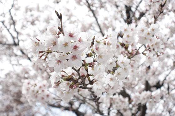 世田谷 希望丘公園 桜