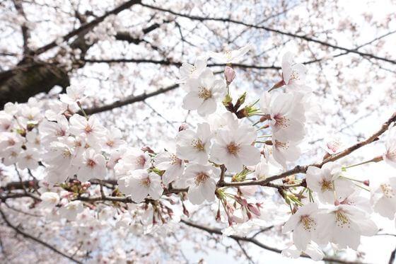 希望丘公園 桜 見頃