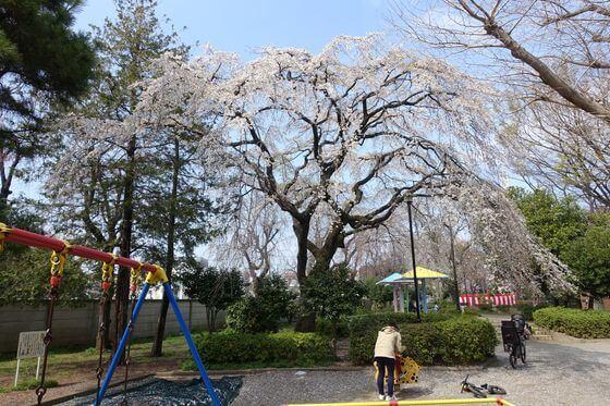 希望丘中公園 桜