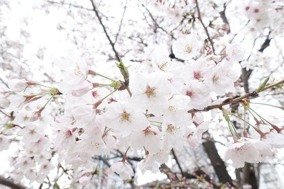 錦糸公園 桜 開花状況