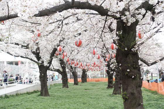 錦糸公園 桜 見頃