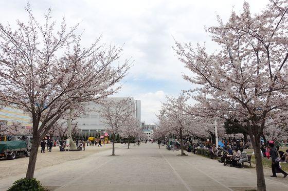 墨田区 桜