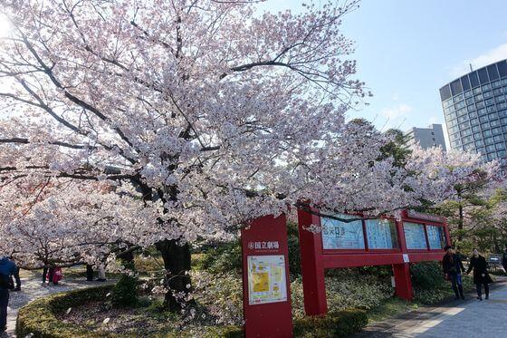 国立劇場 桜 種類