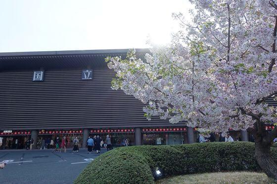 国立劇場 前庭 桜