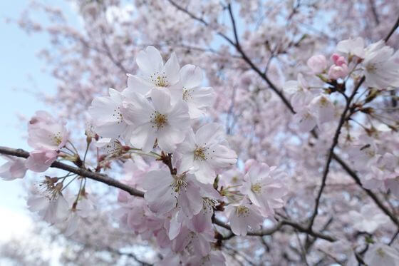 国立劇場 桜 開花状況