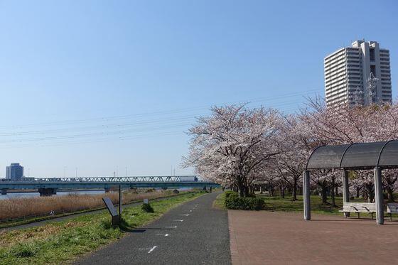 小松川千本桜 桜並木