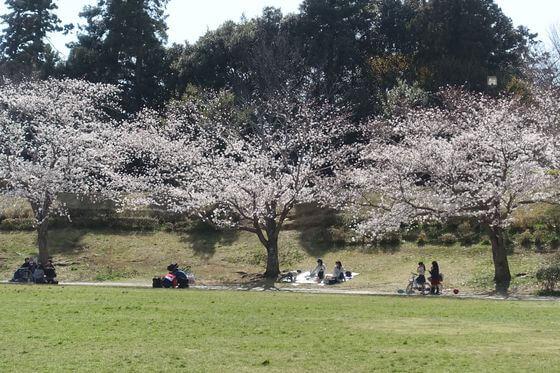 公津の杜公園 花見