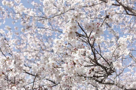 公津の杜公園 桜 開花状況