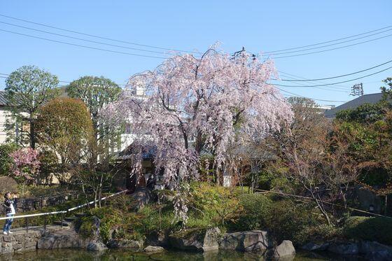目白庭園 しだれ桜
