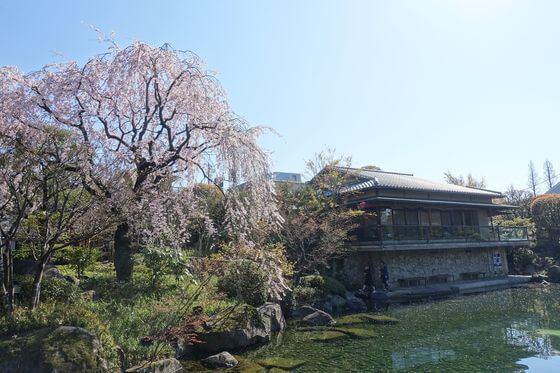 目白庭園 枝垂れ桜