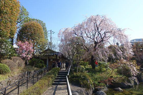 目白庭園 シダレザクラ