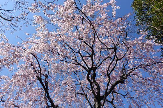 目白庭園 しだれ桜 見頃