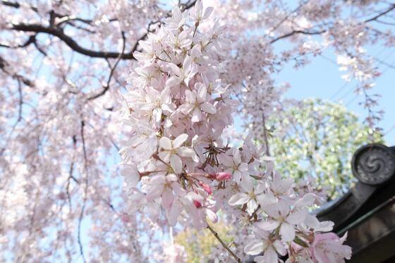目白庭園 しだれ桜 開花状況