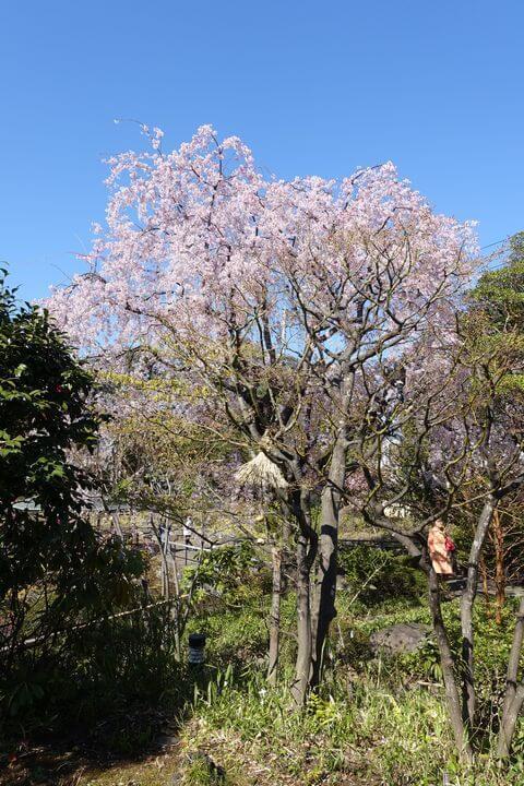 目白庭園 桜