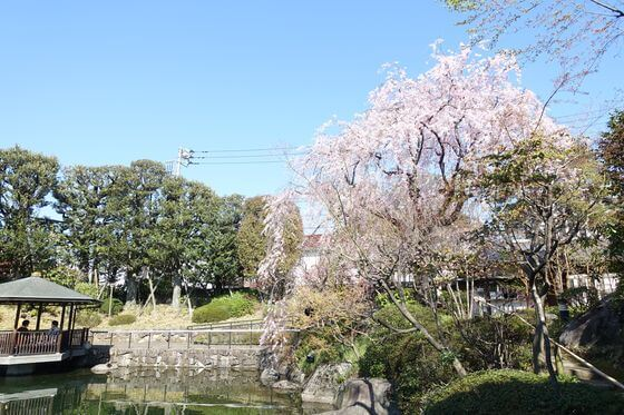 目白庭園 お花見