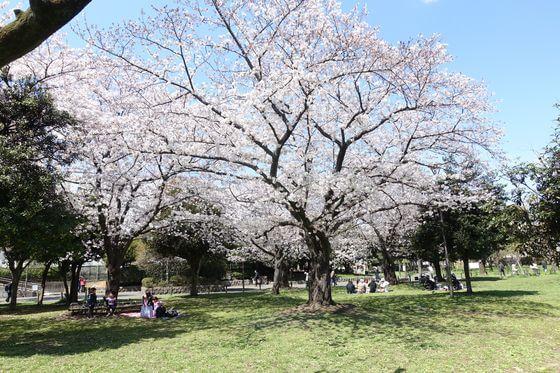 南砂三丁目公園 桜 本数