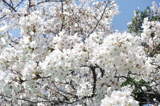 南砂三丁目公園 桜 見頃