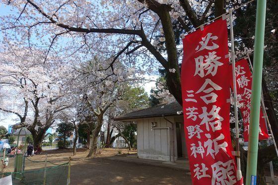 川越 三芳野神社 桜