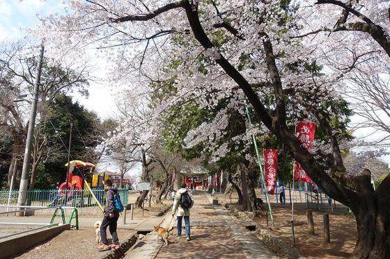 桜 三芳野神社